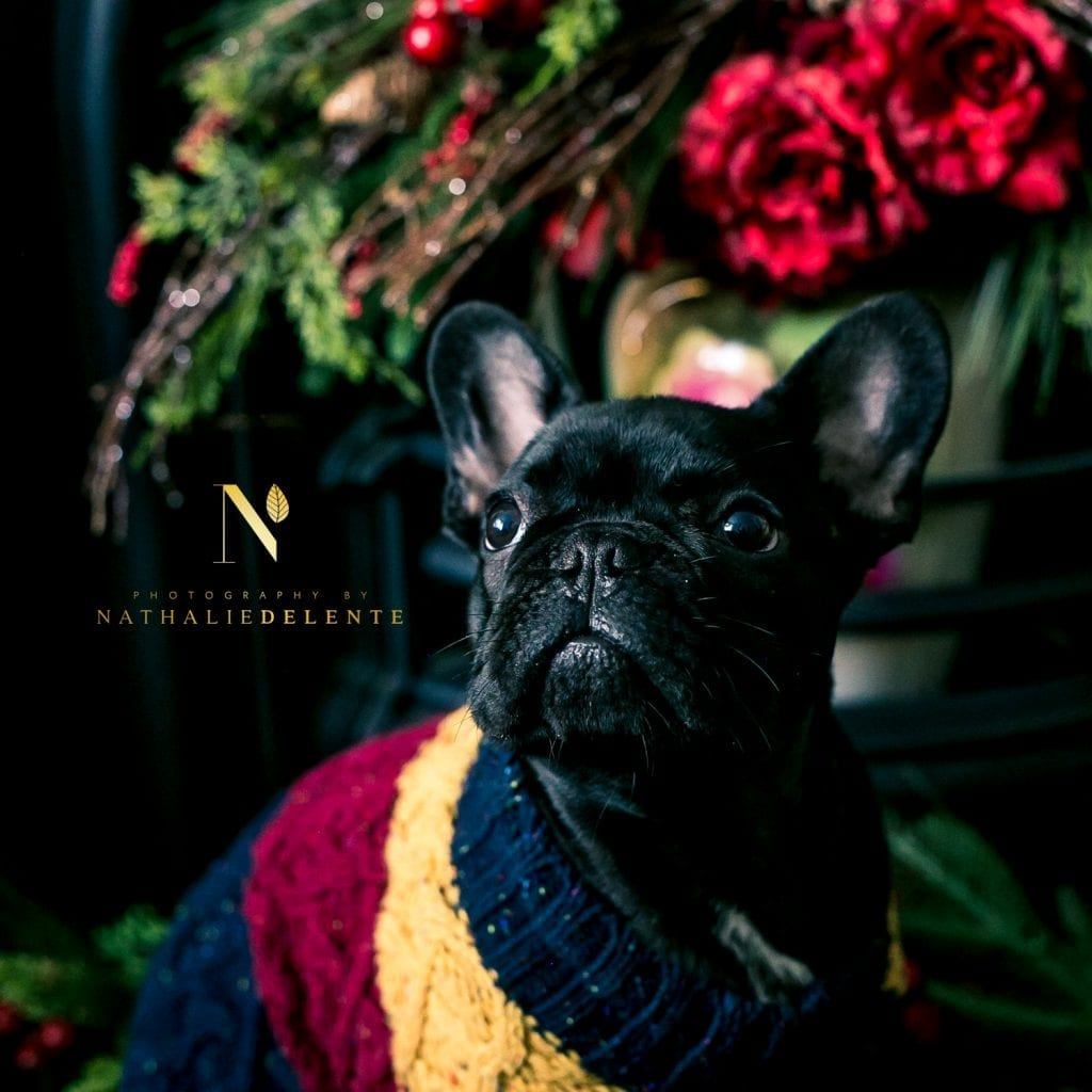 family photoshoot in chelmsford, Essex - picture of french bulldog